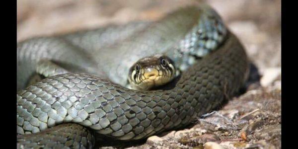 sonhar que uma cobra preta está querendo atacar