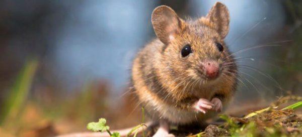ratinho filhote