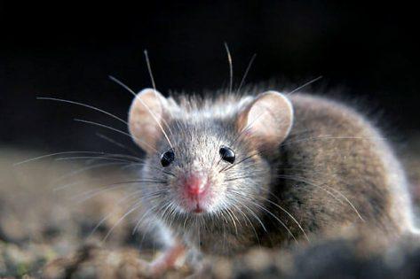 ratinho cinza olhando para frente