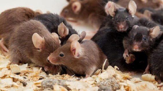 vários filhotes de ratos pretos e marrons