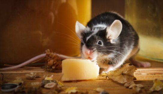 rato roendo queijo