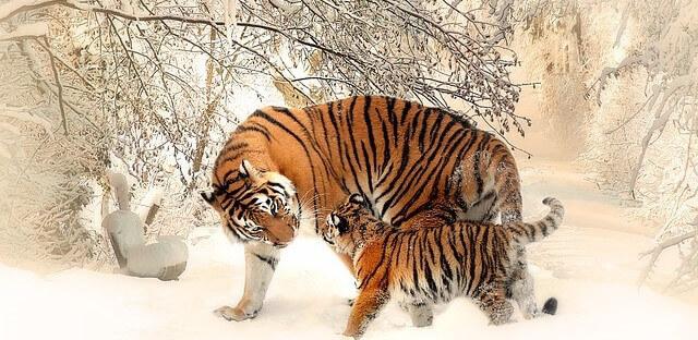 filhote de tigre
