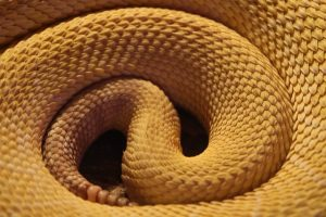 ▷ Sonhar Com Cobra Amarela é Perigoso?