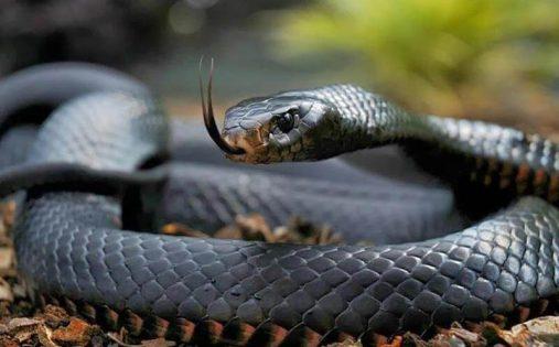 sonhar que está vendo uma cobra preta em casa