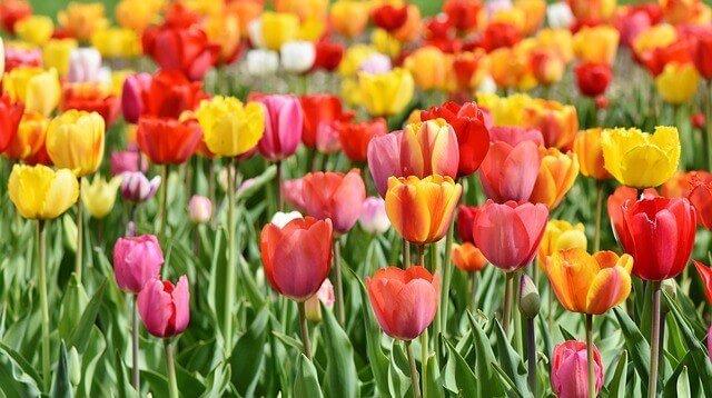 sonhar com tulipas