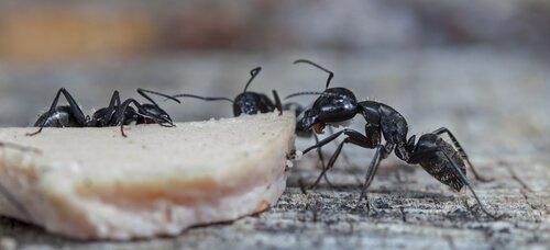 formiga preta carregando comida