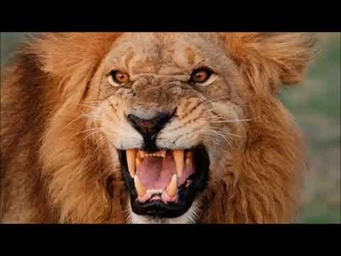 leão bravo querendo me pegar