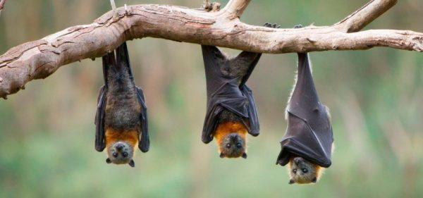 ▷ Sonhar Com Morcego é Mau Presságio?
