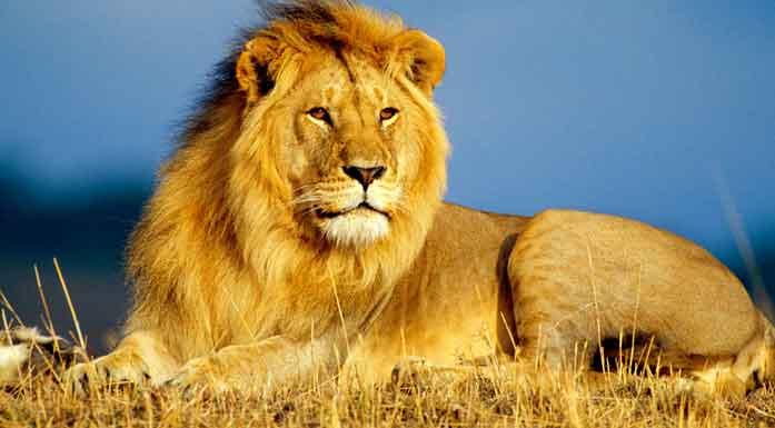 leão deitado na natureza