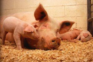 Read more about the article ▷ O Que Significa Sonhar Com Porco?
