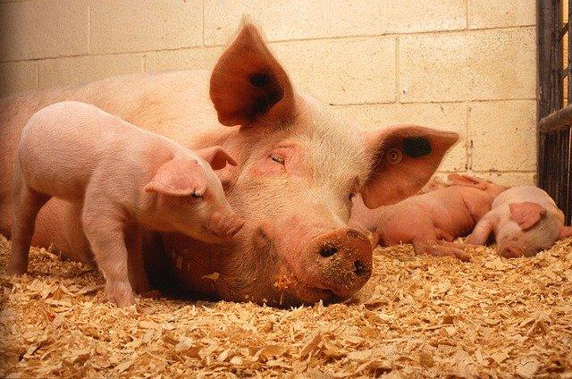 You are currently viewing ▷ O Que Significa Sonhar Com Porco?