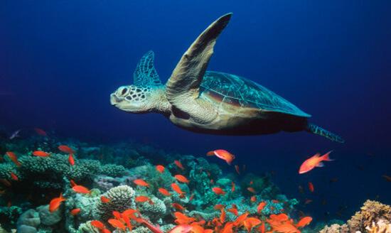 tartarugas marinhas a nadar