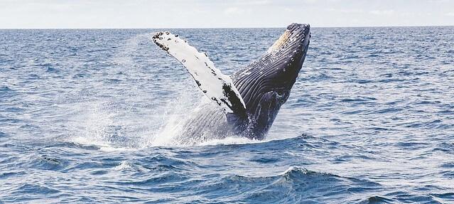 baleia nadando