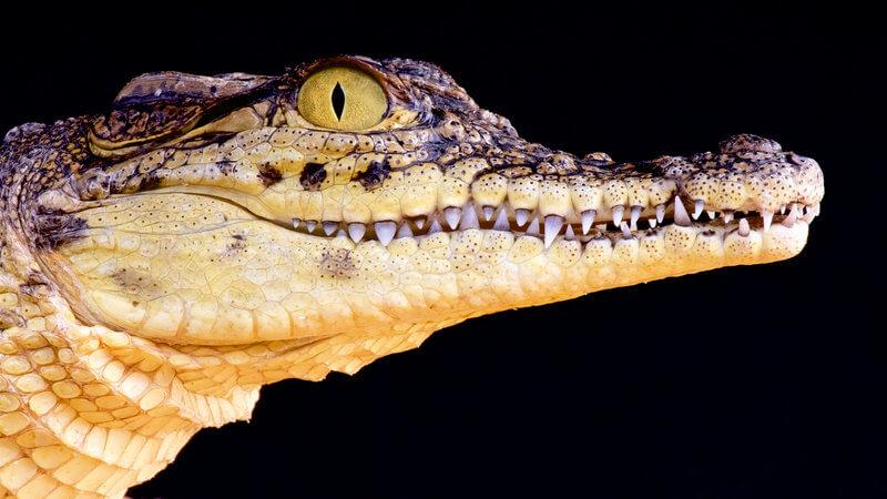 crocodilo no escurando procurando algo para atacar