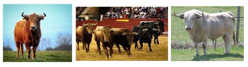 muitos touros