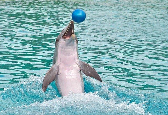 golfinho brincando com uma bolinha azul no mar