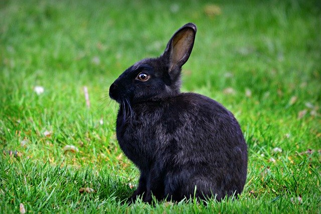 coelho preto andando na grama verde