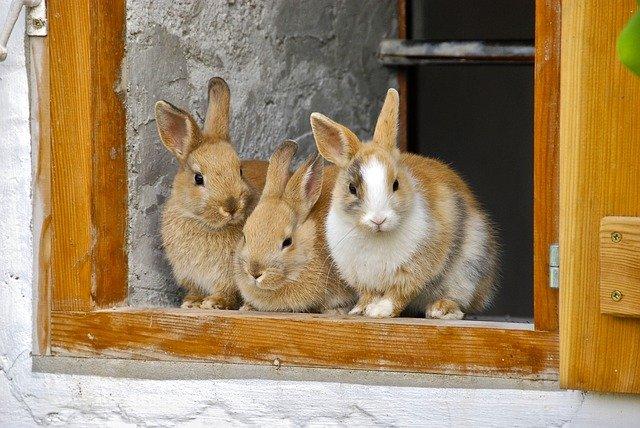 três coelhos caramelo com branco