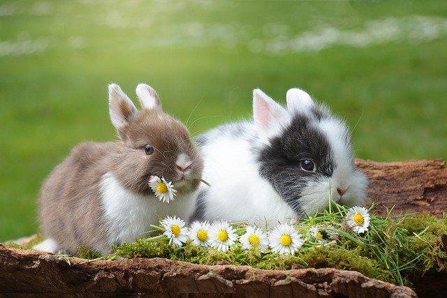 dois coelhos comendo flores no jardim