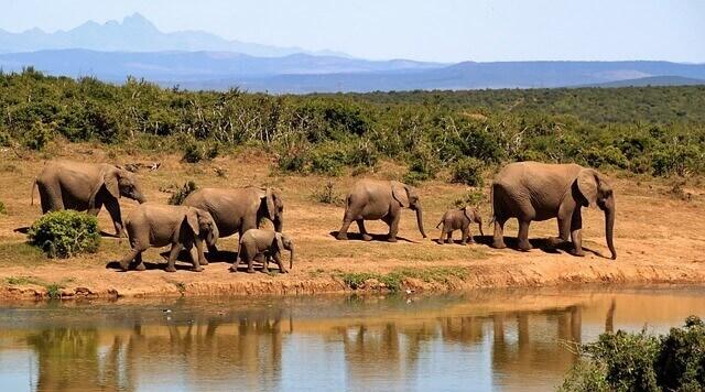 vários elefantes