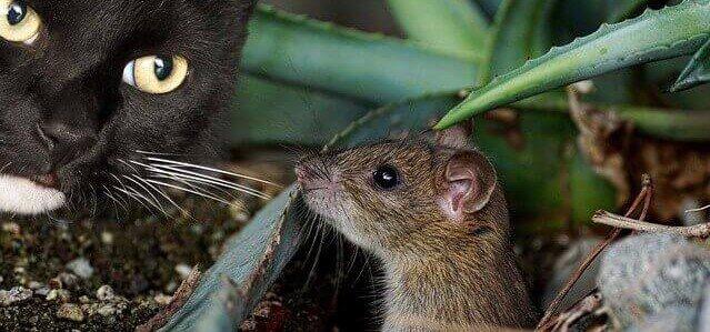 gato querendo matar rato