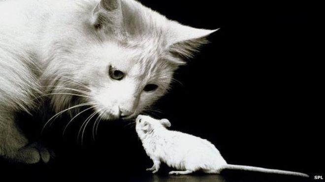 rato branco e gato se encarando