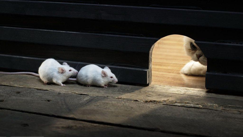 dois ratos brancos se escondendo de um gato no buraco da parede