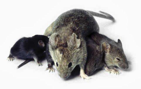 ▷ O que significa Sonhar com Ratos【IMPERDÍVEL】