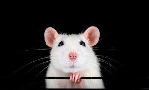 ▷ Sonhar Com Rato Branco é Mau Presságio?
