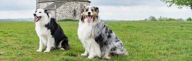 dois cachorros brincando na grama