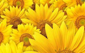 ▷ Sonhar Com Flores Amarelas é Mau Presságio?