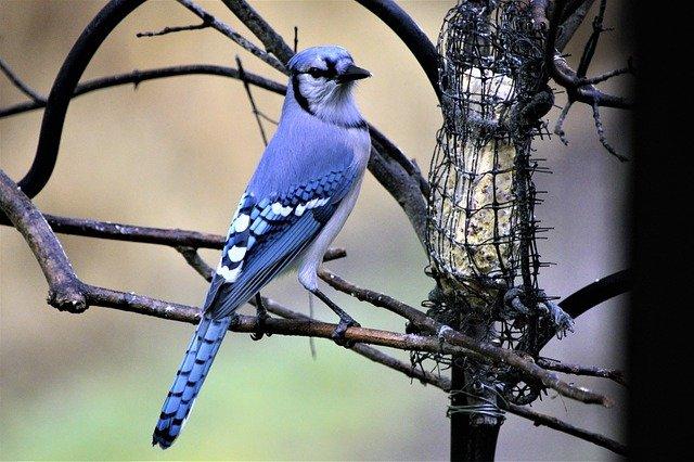 passarinho azul com roxo