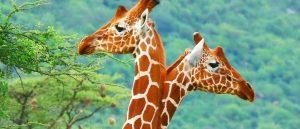 ▷ Sonhar Com Girafa 【Interpretações Reveladoras】