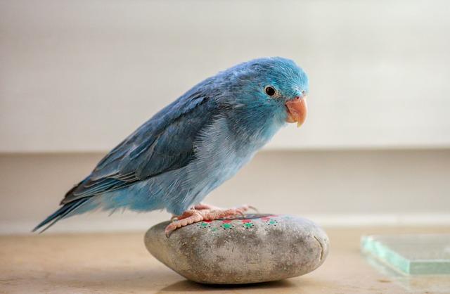 calopsita azul em cima de uma pedra