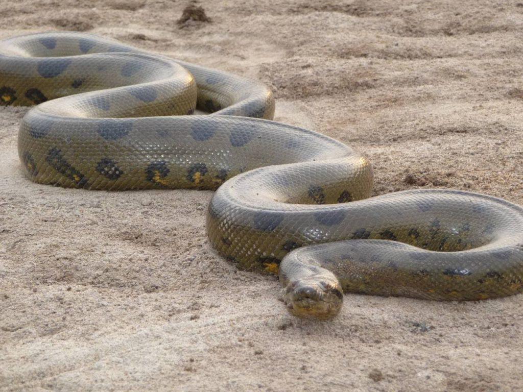 cobra anaconda gigantesca