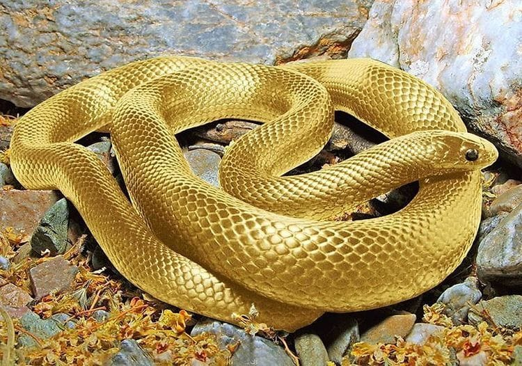 cobra cor de ouro rastejando por entre pedras
