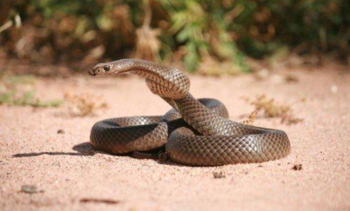 cobra marrom rastejando na areia em um dia de sol