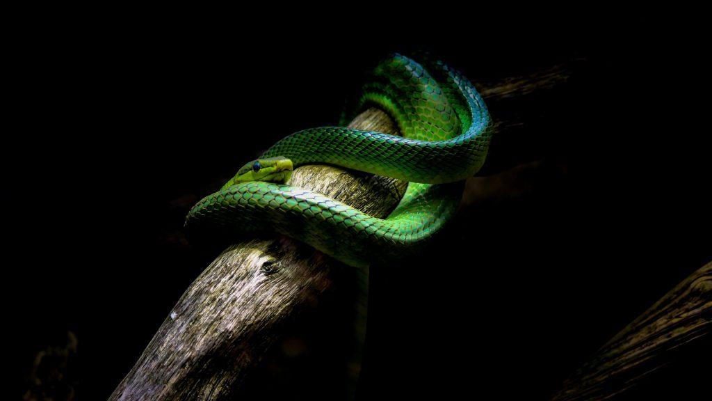 cobra verde enrolada em um galho no meio da escuridão