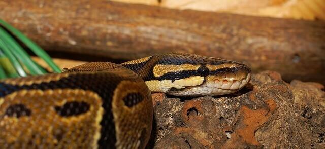 qual o significado de sonhar com muitas cobras