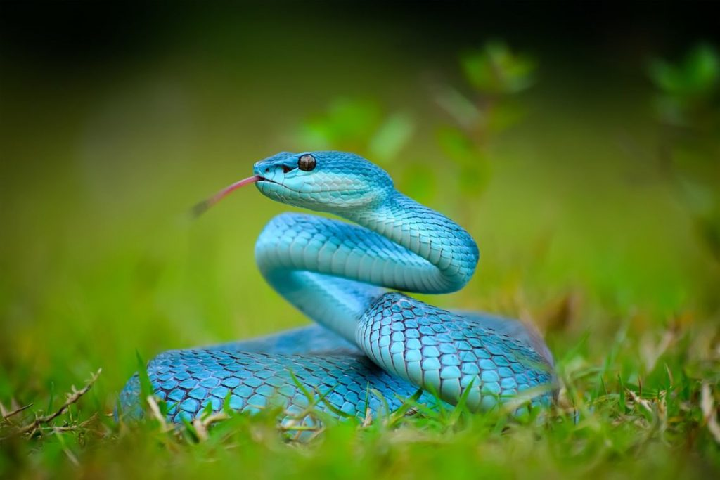cobra azul rastejando na grama