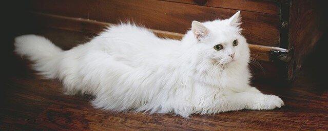 gato branco gordo