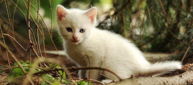 gatinho branco