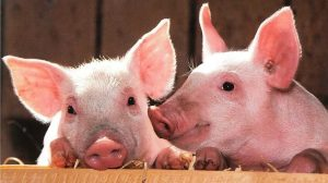 ▷ Sonhar Com Porco – Qual o Número Da Sorte?
