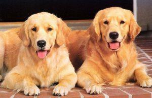 ▷ Sonhar Com Cachorro Amarelo 【Significados Reveladores】