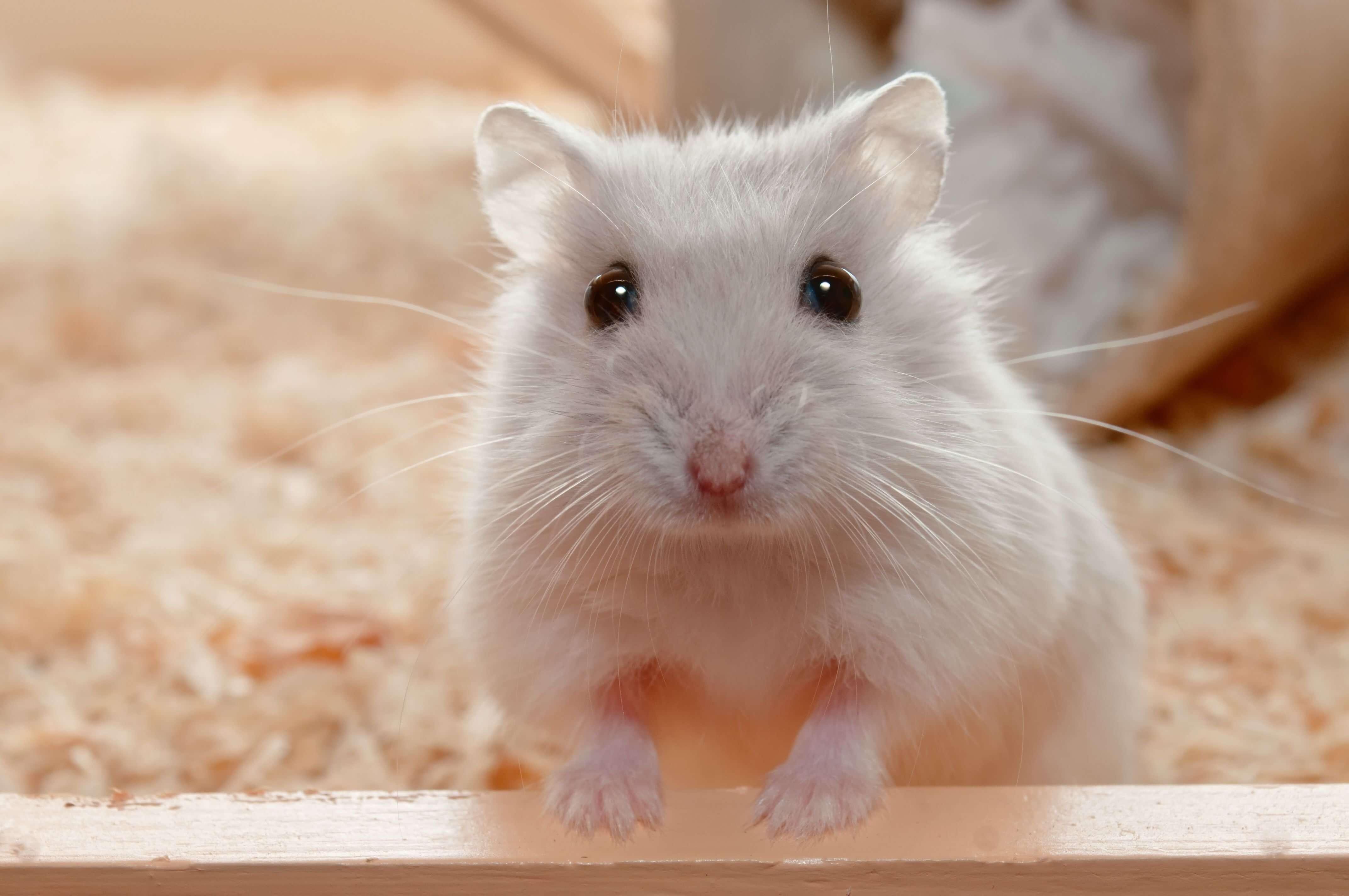 You are currently viewing ▷ Sonhar Com Hamster 【7 Significados Reveladores】