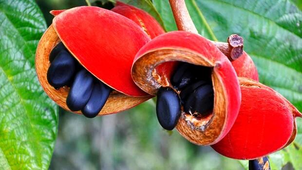 fruta xixá