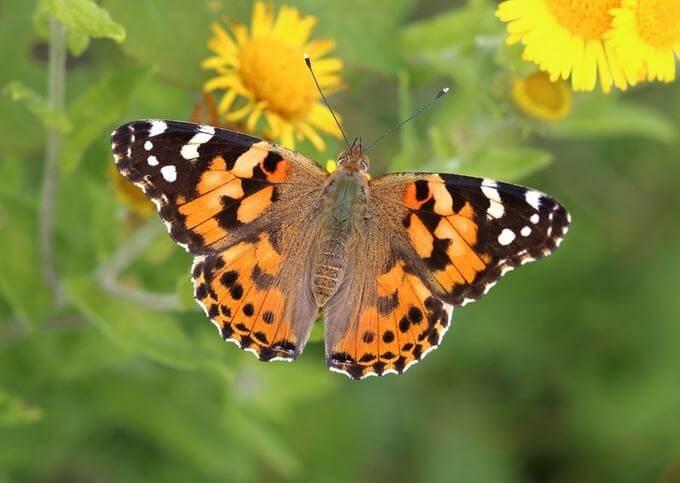 borboleta laranja na flor amarela
