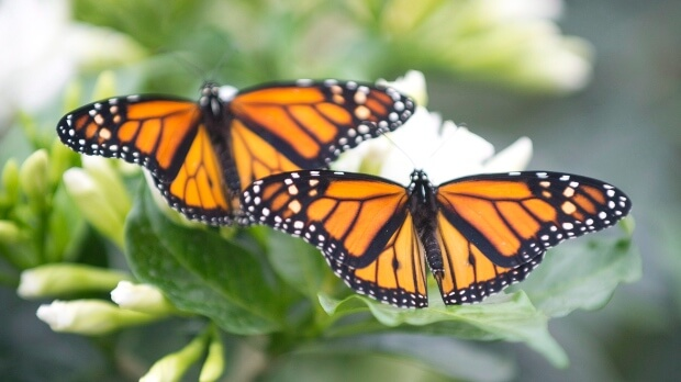 duas borboletas livres na natureza