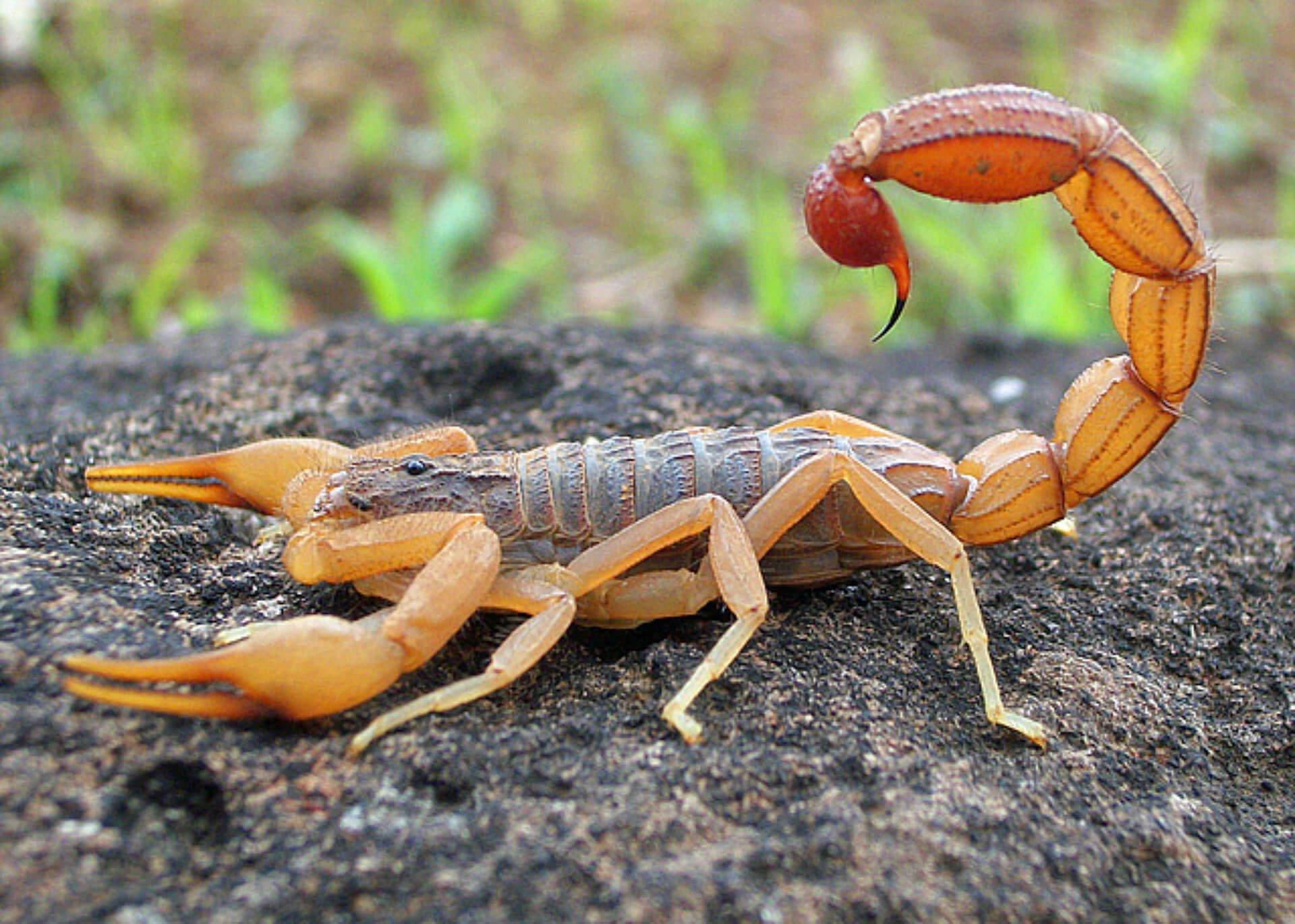 ▷ Sonhar Com Escorpião Vermelho 【O significado vai te surpreender】