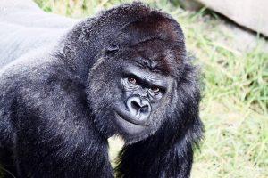 ▷ Sonhar Com Gorila 【É mau presságio?】